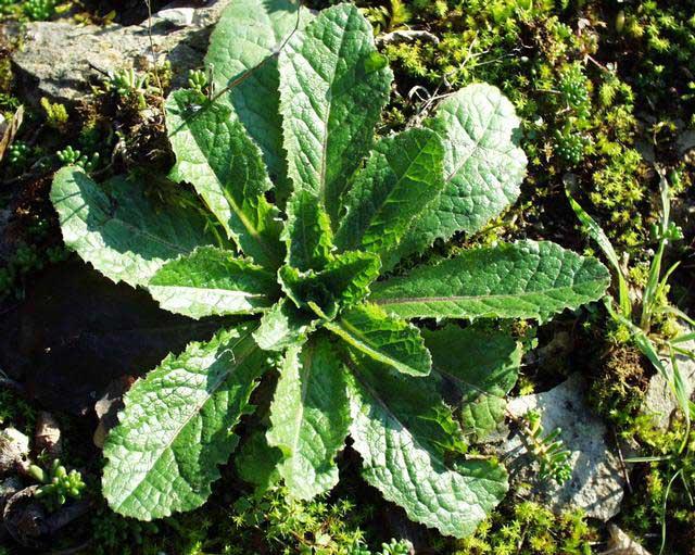 可以拿來當做娛樂用藥的毒萵苣是萵苣的近親,葉片邊緣有刺毛