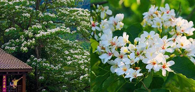 每年客家桐花季都能吸引不少觀光客體驗客庄風情。圖片來源:客家桐花季官網
